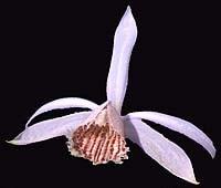 плейоне приземистая, приземистая плейоне, Pleione humilis, фото, фотография, орхидея