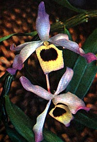 дендробиум благородный, благородный дендробиум, Dendrobium nobile, фото, фотография, орхидея