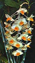 дендробиум букетоцветный, букетоцветный дендробиум, Dendrobium thyrsiflorum, фото, фотография, орхидея