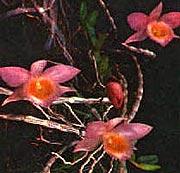 дендробиум Лоддигеза, Dendrobium loddigesii Rolfe, фото, фотография, орхидея