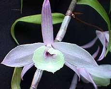 дендробиум Пьерара, Dendrobium pierardii, фото, фотография, орхидея