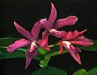 каттлея гибридная, гибридная каттлея, фото, фотография, орхидея