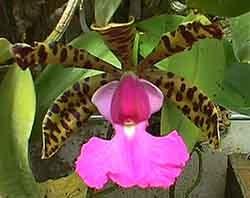 каттлея Акланда, Cattleya aclandiae, фото, фотография, орхидея