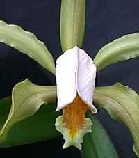 каттлея Форбеза, Cattleya forbesii, фото, фотография, орхидея