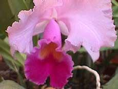 каттлея губоцветная, губоцветная каттлея, каттлея губастая, Cattleya labiata, фото, фотография, орхидея