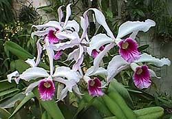 лелия пурпурная, пурпурная лелия, Laelia purpurata, фото, фотография, орхидея