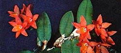софронитис наклоненная, Sophronitis cernua, фото, фотография, орхидея