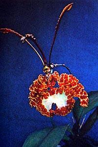 Oncidium kramerianum фото фотография орхидея