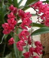 родригезия секунда, Rodriguezia secunda, фото, фотография, орхидея