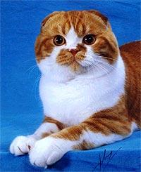 Фолд или шотландская вислоухая кошка