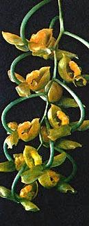 гонгора абрикосовая, абрикосовая гонгора, Gongora armeniaca, фото, фотография, орхидея