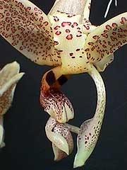 стангопея глазковая, глазковая стангопея, Stanhopea ocutata, фото, фотография, орхидея