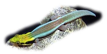 неоновый дневной геккон, фельзума Клеммери, радужный мадагаскарский геккон (Phelsuma klemmeri), фото, фотография с www.morrisonplanetarium.org
