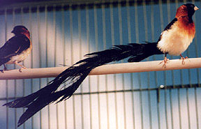 райская вдовушка, вдовушка райская (Steganura paradisaea), фото, фотография
