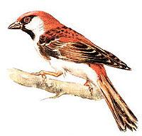 рыжий воробей, воробей рыжий (Passer rutilans), фото, фотография