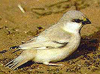 пустынный воробей, воробей пустынный (Passer simplex), фото, фотография
