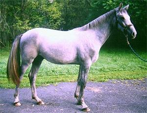 ирландская упряжная лошадь, фото, фотография