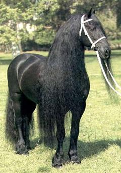фризская лошадь, фриз, порода лошадей фриз, фото фотография, , лошади кони, породы лошадей