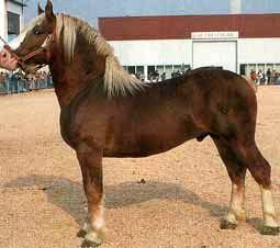 итальянский тяжеловоз, порода лошадей итальянский тяжеловоз, фото, фотография