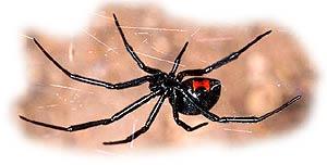 Черная вдова - один из самых ядовитых пауков Северной Америки