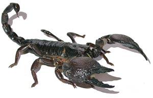 Танзанийский красноклешневый скорпион, скорпион пандинус кавиманус (Pandinus cavimanus), фото фотография с http://zoologie.uni.bonn.de, паукообразные