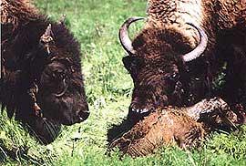 бизон, баффало (Bison bison), фото, фотография