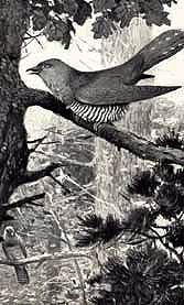 кукушка обыкновенная, обыкновенная кукушка (Cuculus canorus), фото, фотография