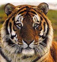 тигр, амурский тигр, фото