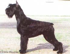 Ризеншнауцер, фото, фотография, породы собак