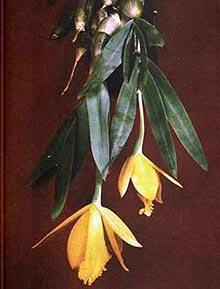 орхидея, каттлея лимонная, фото, фотография