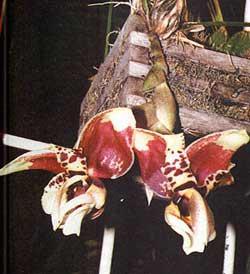 орхидея, странгопея тигровая, фото, фотография