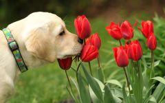 Щенок палевого лабрадора нюхает тюльпаны
