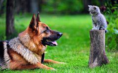 Немецкая овчарка и серенький котенок
