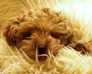 Куплю щенка пуделя