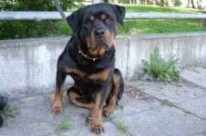 Ротвейлер собака