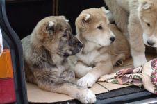 Среднеазиаты щенки