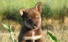 Финская оленегонная лайка щенки