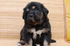 Щенок тибетского мастифа цена