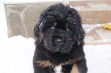 Куплю щенка тибетского мастифа