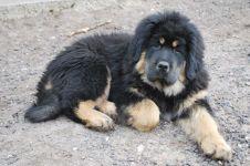 Тибетский мастиф стоимость щенка