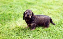Жесткошерстная такса щенок