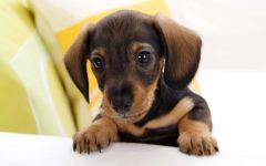 Как назвать щенка таксы?