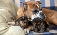 Старый боксер с щенками йоркширского терьера