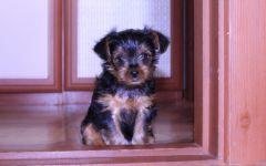 Как назвать щенка йоркширского терьера?