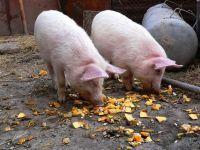 Поросята-подростки едят тыкву, фото обои фотография