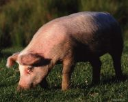 Свинья на лугу, фотография фото  обои