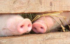 Свиные пятачки