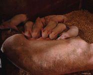 Поросенок сосущий матку, фотография фото  обои
