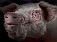 Хряк свинья