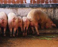 Свиньи сзади